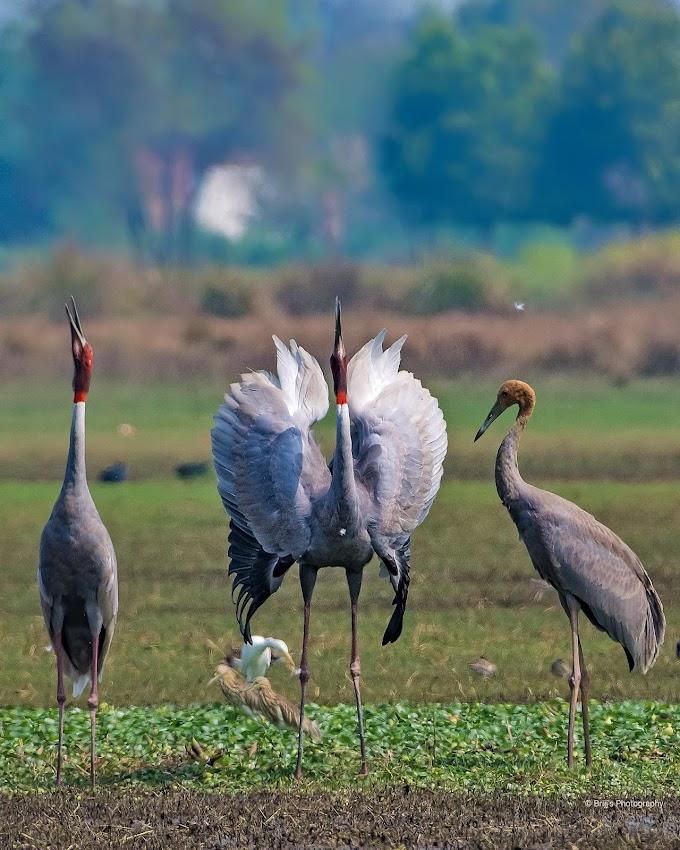 Sarus Crane couple