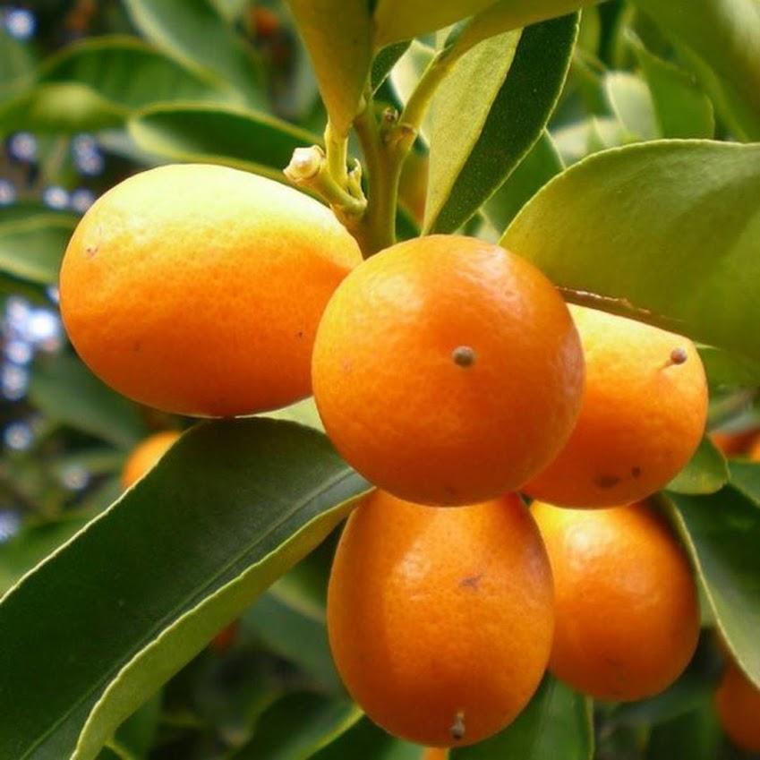 Bibit jeruk nagami hasil okulasi siap berbuah Sumatra Utara