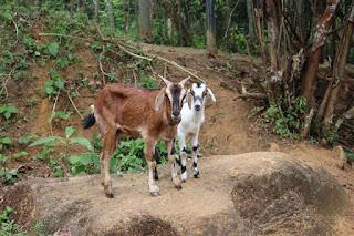 goats, kids,