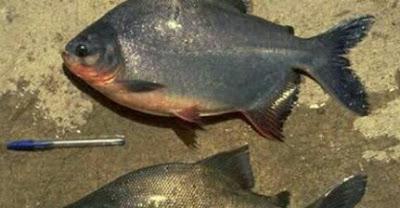umpan ikan bawal harian susah makan