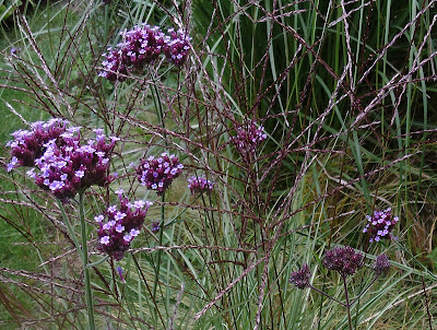 Verbena Miscanthus Plant combination garden review of 2017 Green Fingered Blog