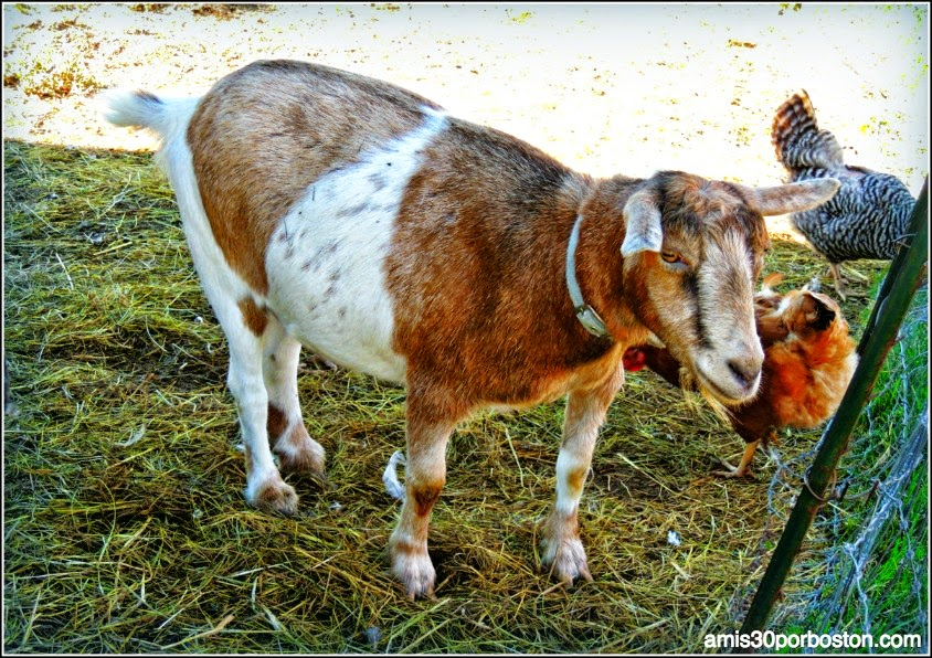 Russell Orchards Farm Store & Winery: Cabras