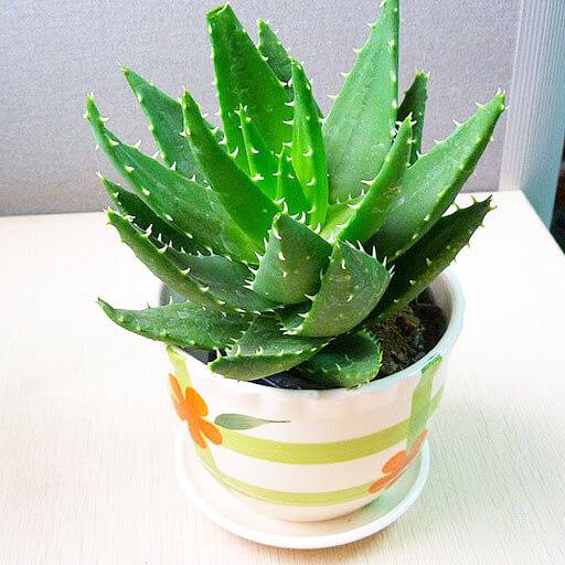 tanaman-terbaik-untuk-menghias-ruang-tamu