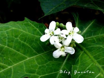 Flores de Chaya Vegetacion Yucatan Mexico