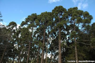Floresta de araucária, araucárias, floresta, mata atlântica, extinção, desmatamento, Parque Nacional das Araucárias, Parque Nacional dos Campos Gerais, Reserva Biológica das Araucárias, Refúgio de Vida Silvestre dos Campos de Palmas, santa catarina, paraná, rebio, parna, unidade de conservação