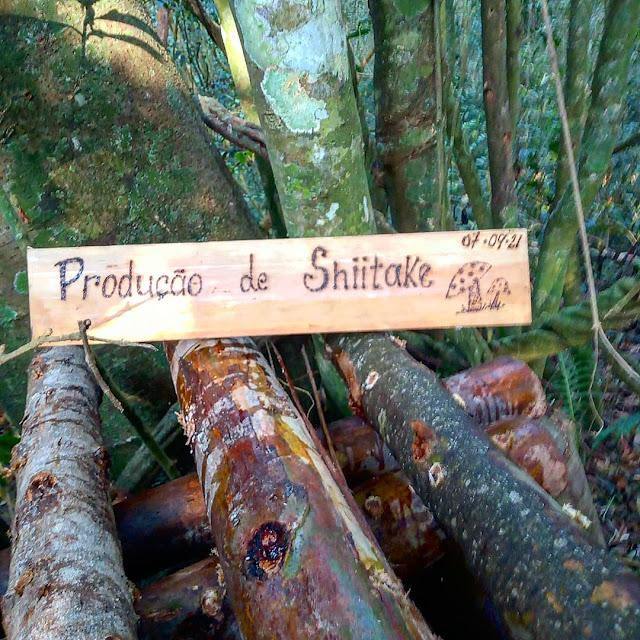 Meu cultivo de cogumelos Shiitake