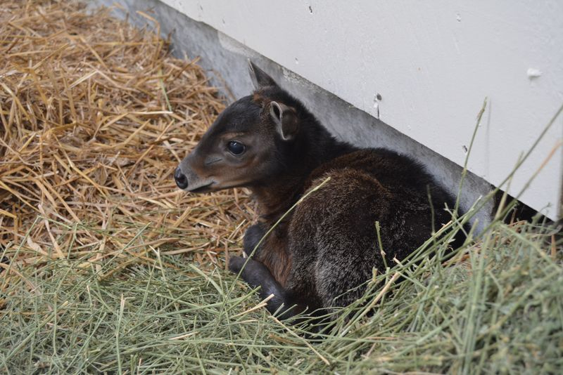 Baby Animals: Sitatunga Calf 7