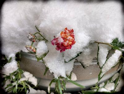 Lantana blossom in the snow
