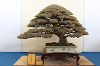bonsai waru