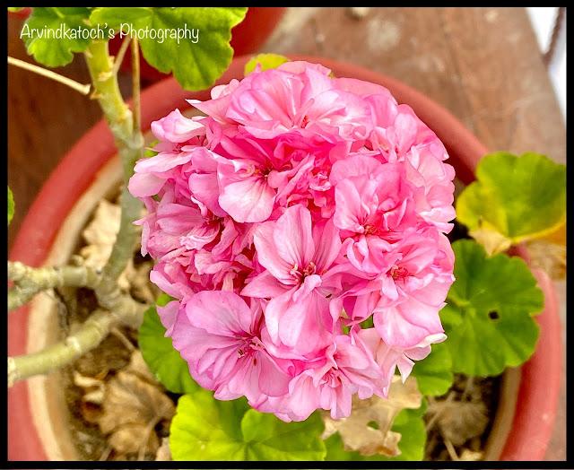 Beautiful garden pink flower