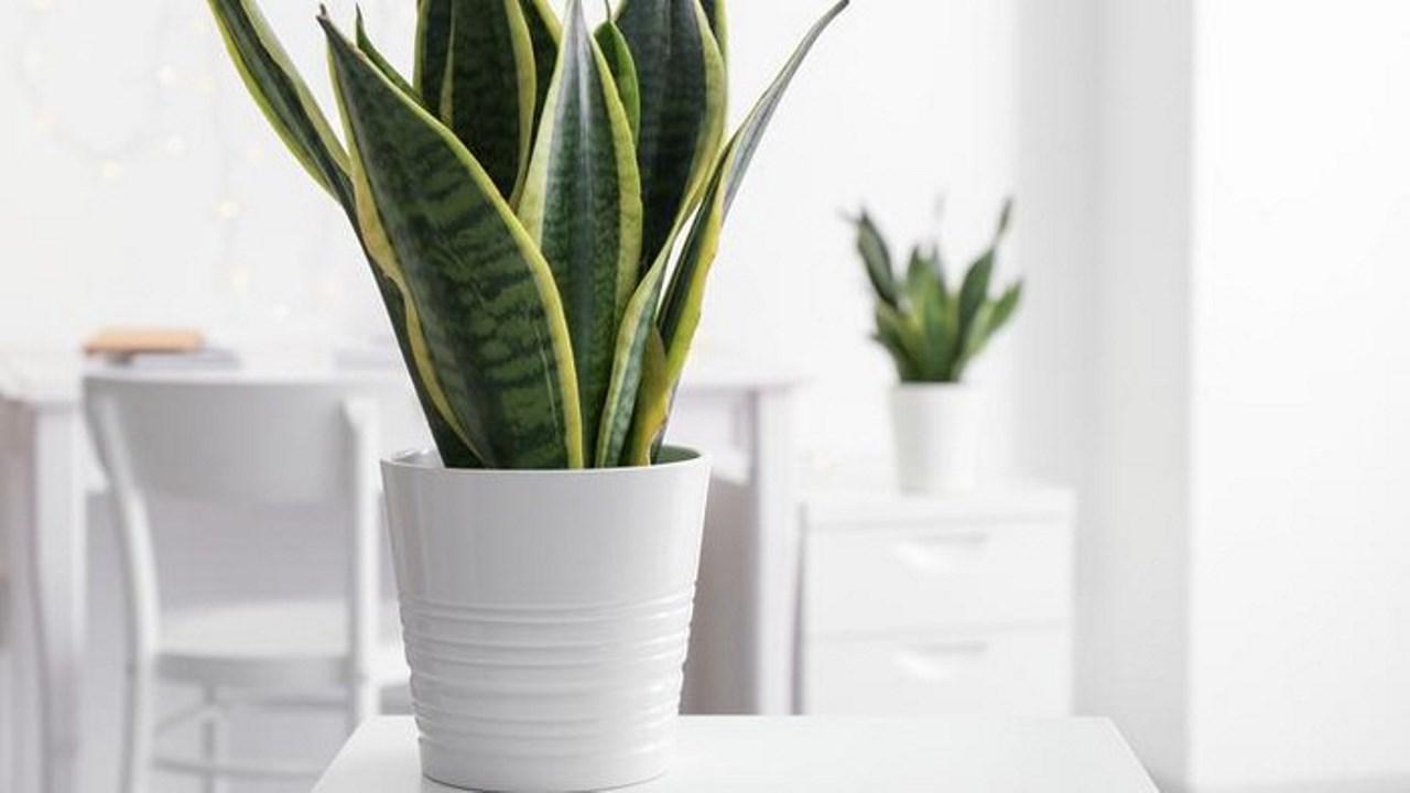 Kann eine Schlangenpflanze die Luftqualität in Ihrem Zuhause verbessern