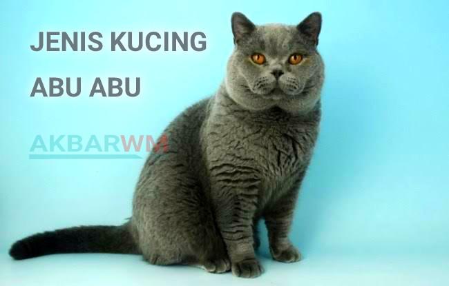 Jenis kucing abu abu
