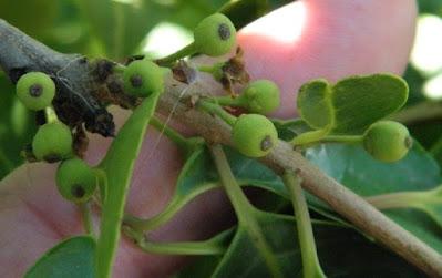 arboles de las yungas Palo yerba (Ilex argentina)