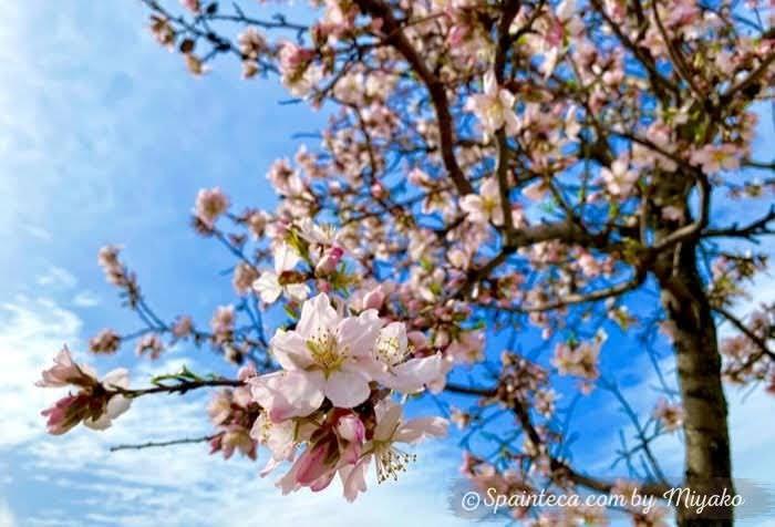 マドリードの青い空の下で咲くピンク色のアーモンドの花