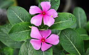 Tapak dara ialah salah satu tumbuhan liar yang bisa dijadikan bahan ramuan   Khasiat tapak dara untuk obat herbal asma