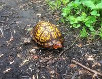 Box Turtle Surprise Again