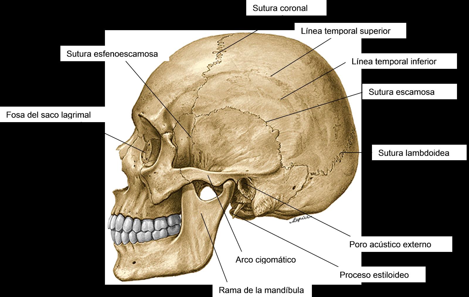 Bonito Proceso Cigomático Molde - Anatomía de Las Imágenesdel Cuerpo ...