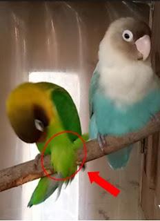 solusimengatasi lovebird yang suka gesek tangkringan
