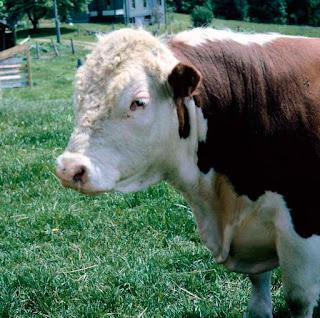 características del ganado foster