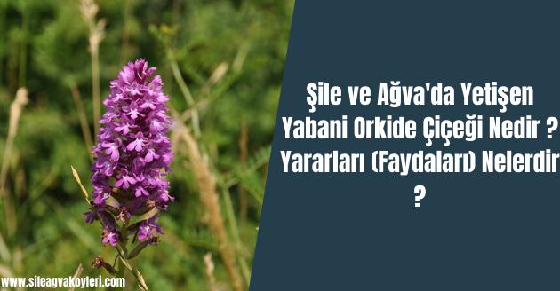 Şile ve Ağva'da Yetişen Yabani Orkide Çiçeği Nedir ? Yararları (Faydaları) Nelerdir ?