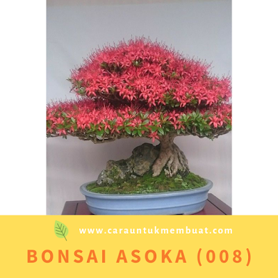 Bonsai Asoka (008)