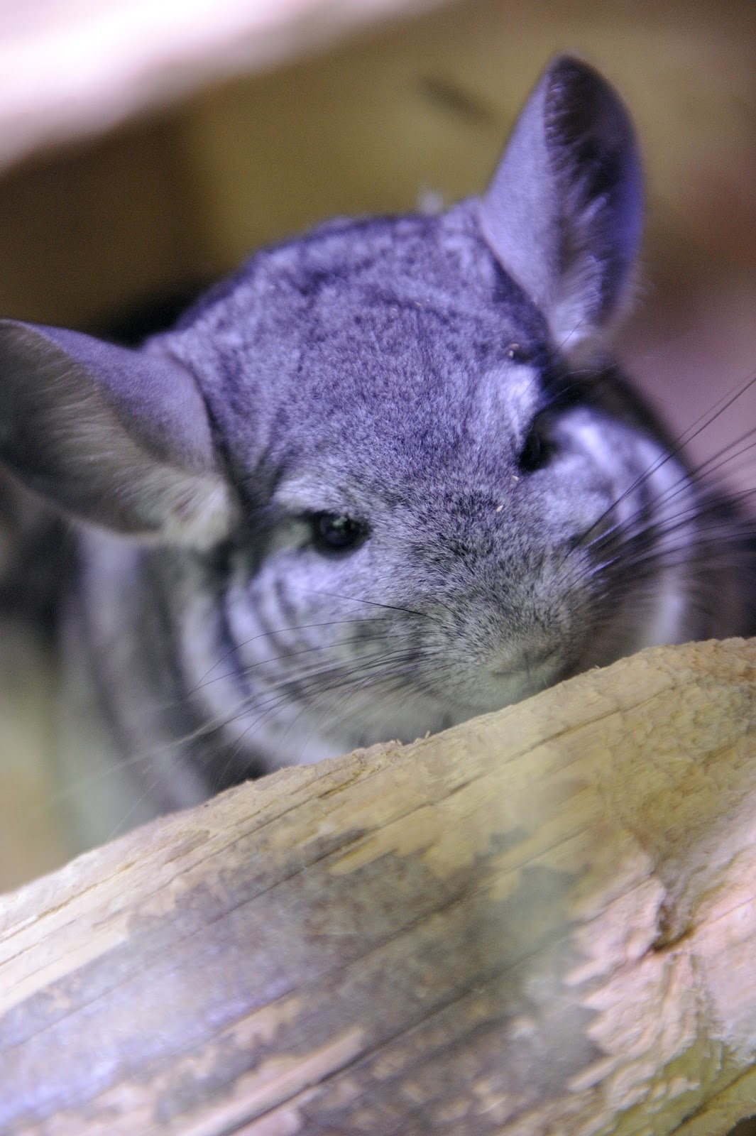 Picture of a chinchilla.