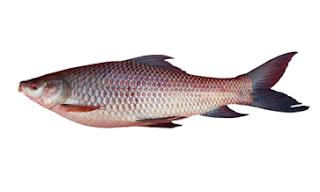 रोहू मछली खाने के फायदे