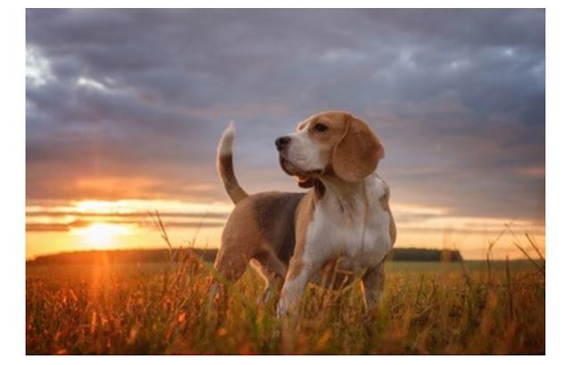犬が尻尾を立てるときはどんな心理のとき?