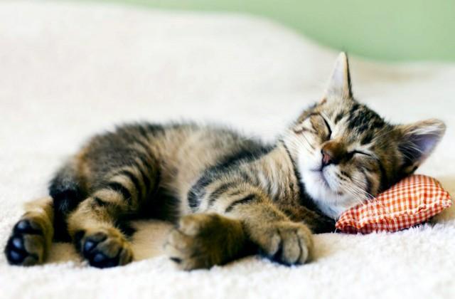 Gambar Kucing Tidur godean.web.id