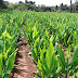 Ideal Conditions Required for Growing Turmeric