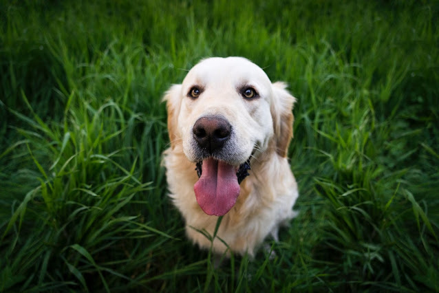 Smiling dog sitting on grass with tongue hanging out