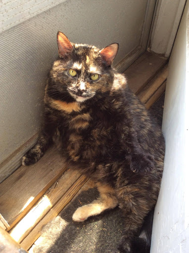 Tortie cat enjoying her sun puddle.