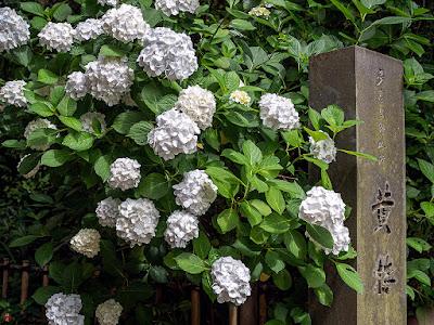 Ajisai (Hydrangea) flowers: Engaku-ji