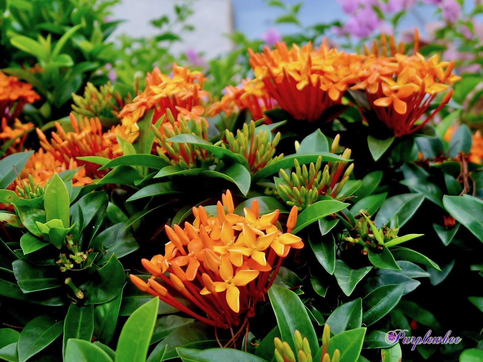 薇薇花園: 橙花矮仙丹花