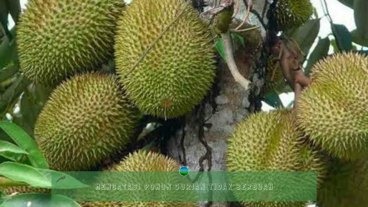 Mengatasi Pohon Durian Tidak Berbuah
