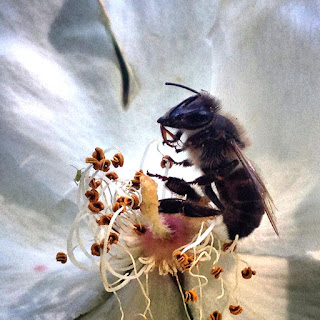 Una abeja que murió envenenada por un  agroquímico mientras libaba de una flor.  Igual que las abejas, los quetzales se  encuentran en peligro de extinción.