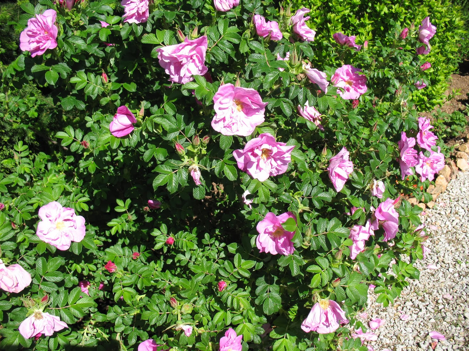roses du jardin ch neland taille d 39 un rosier rugosa. Black Bedroom Furniture Sets. Home Design Ideas