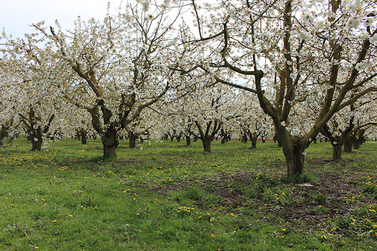 An Orchard of a Certain Age