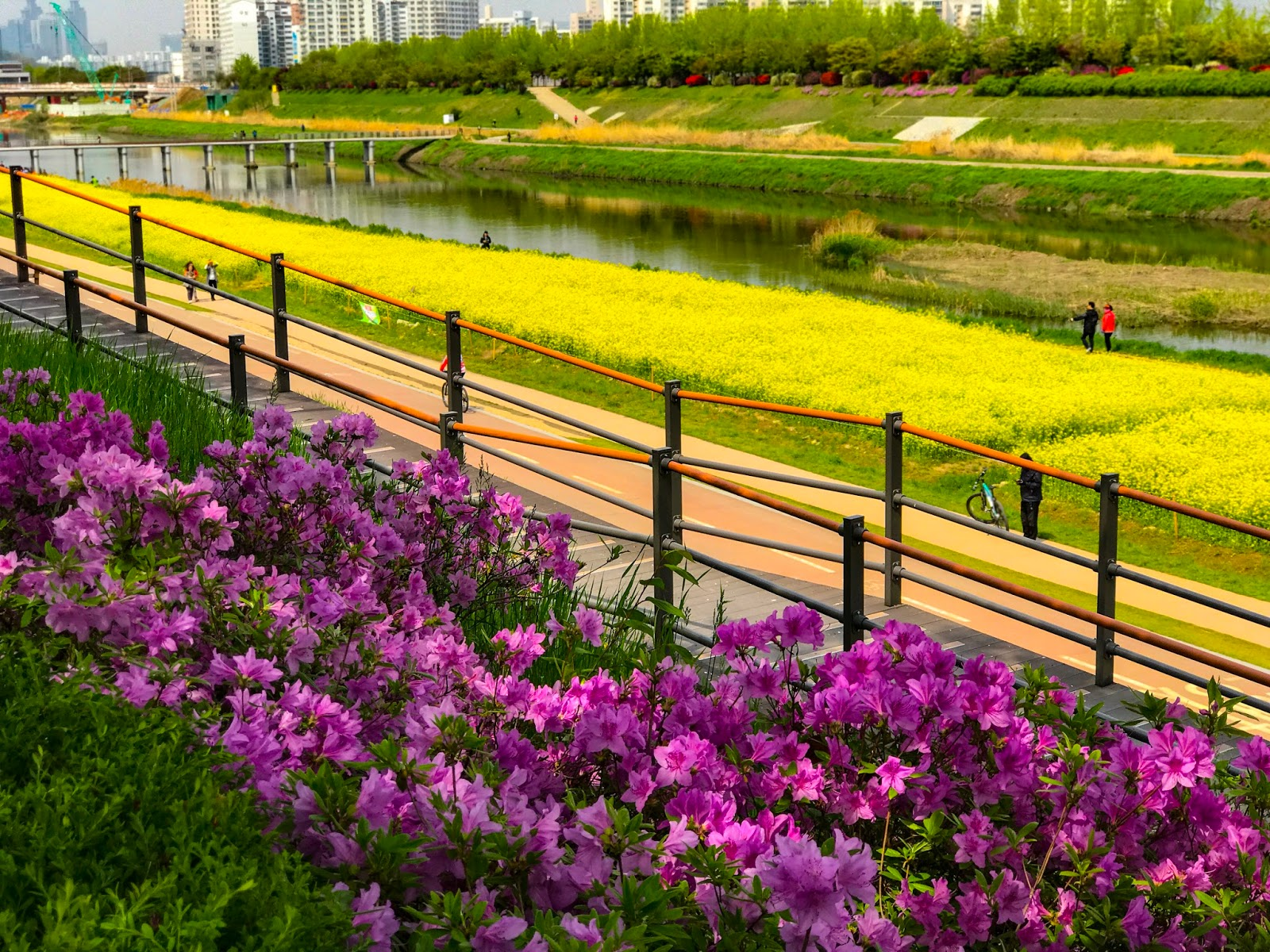 Canola Flowers In Seoul Explore With Ahjussi