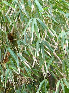 Bambou plein - Gigantochloa albociliata