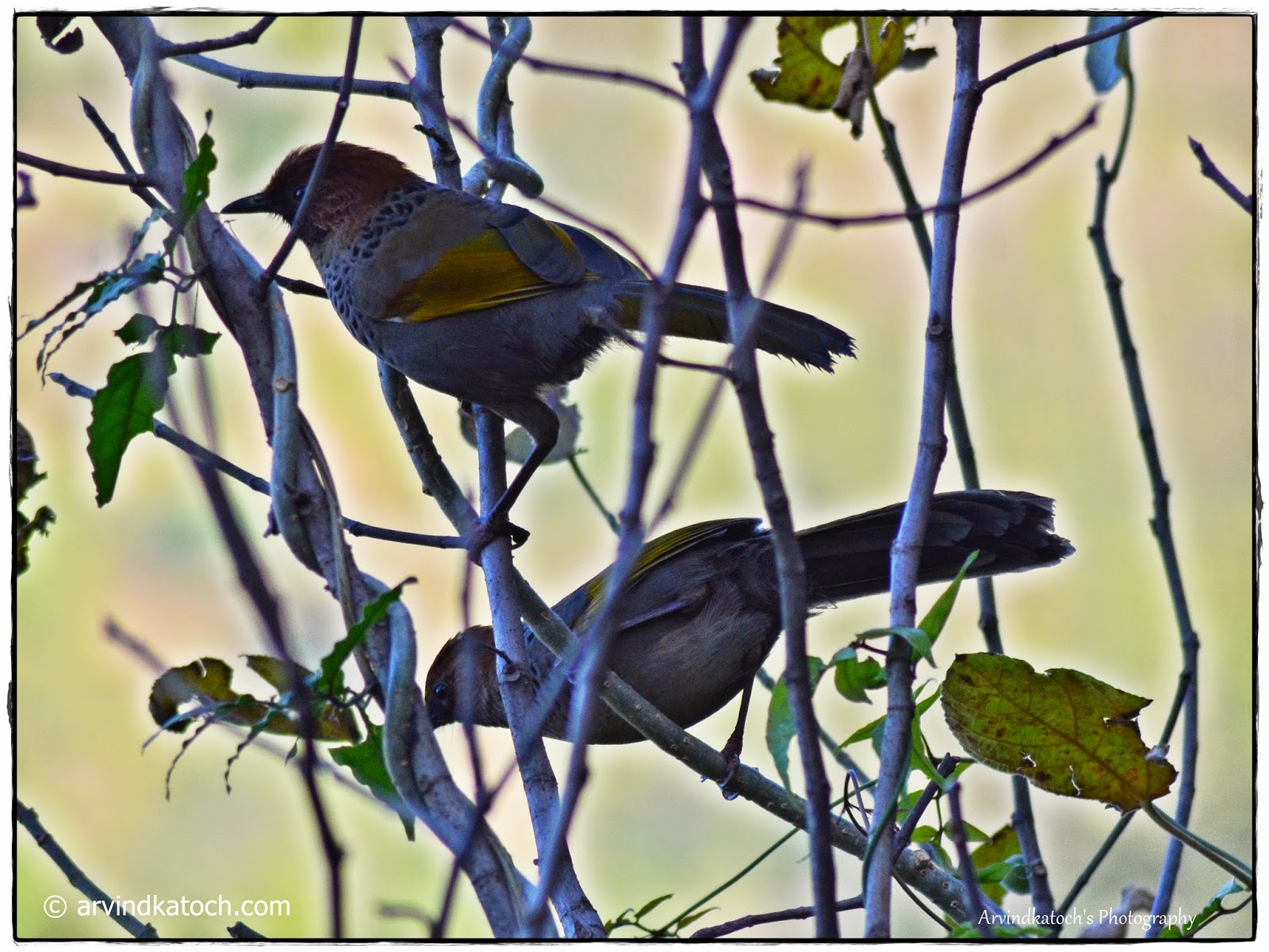 pair, Birds, Chestnut-crowned Laughingthrush