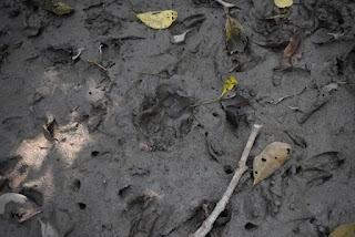 Tigers footprint from Sundarban