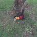 Tucano é encontrado morto em Laranjeiras