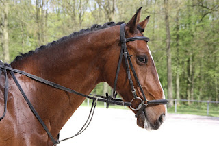 Bay horse with a bridle on standing infront of a forest
