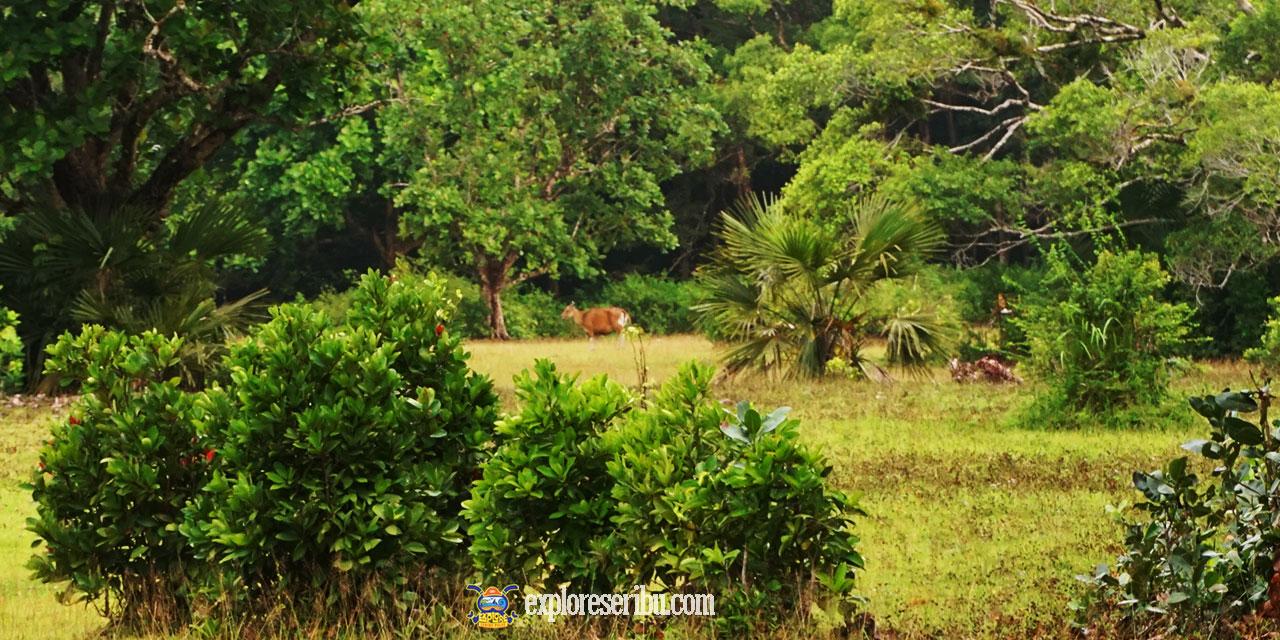 menyaksikan banteng merumpung di savana cidaon