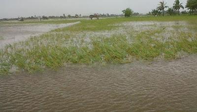 Dewan Minta Cadangan Benih Paska Banjir