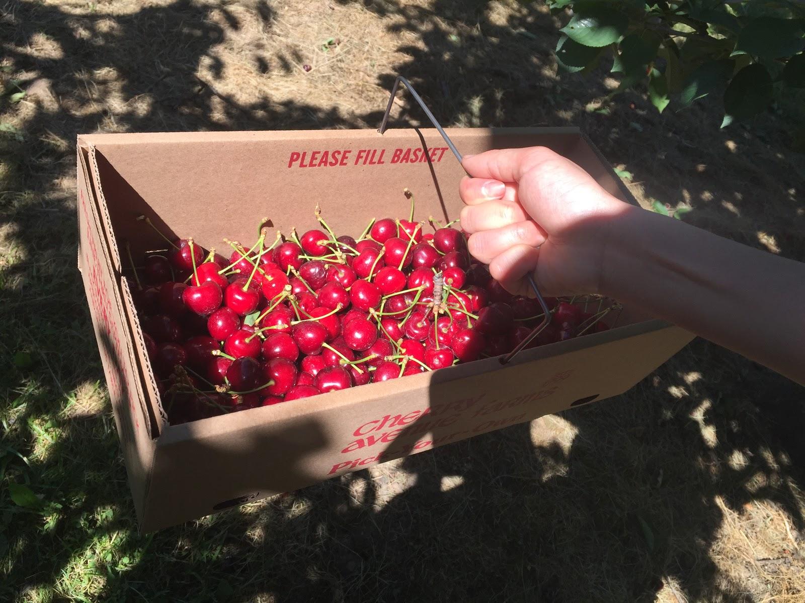 Kết quả hình ảnh cho hái cherry