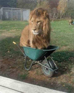 Lion in wheelbarrow