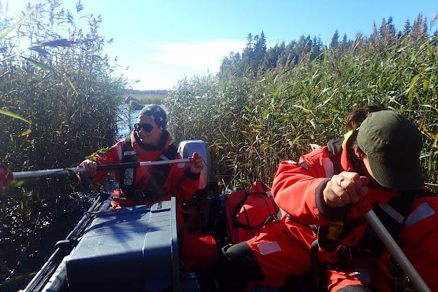 Kaksi pelastautumispukuista henkilöä yrittää soutaa kumivenettä tiheän järviruovikon läpi