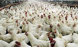 Περιστατικά γρίπης των πτηνών στη Βουλγαρία